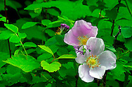 Wild rose in the Haskill Basin, F.H. Stoltze Land & Lumber property. Flathead County, Montana.