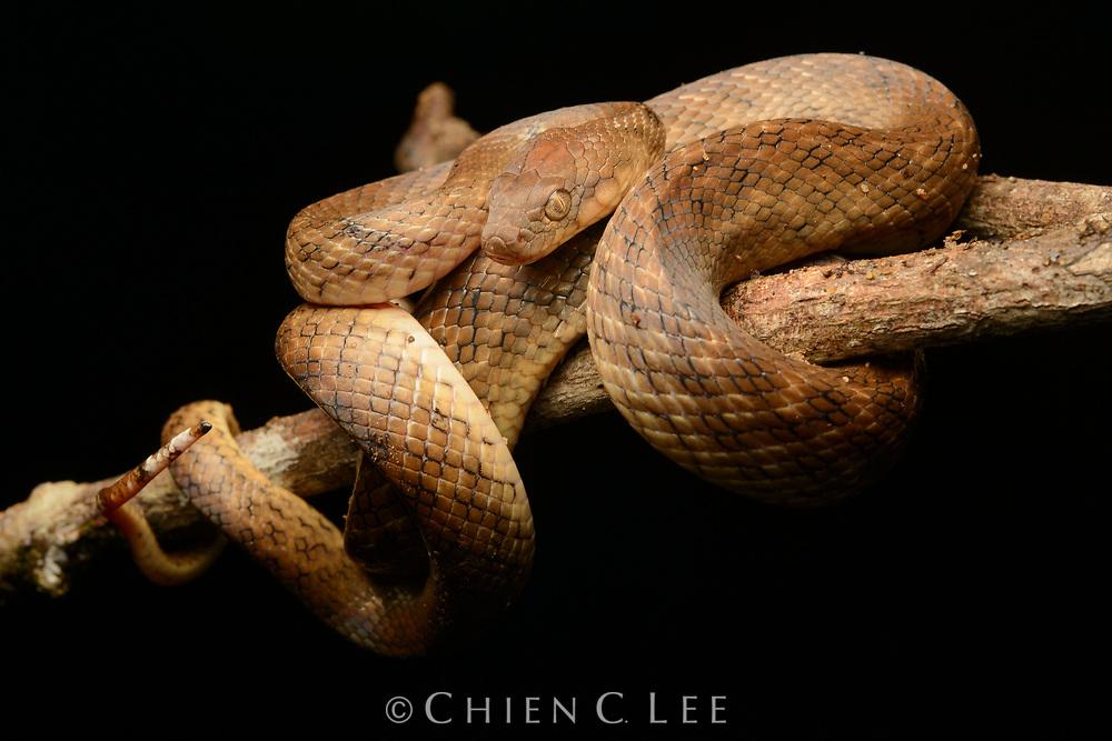 Madagascar Cat-eyed Snake (Madagascarophis colubrinus). Antsiranana, Madagascar.