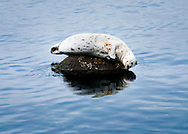 A harbor seal relaxes on a rocky perch, resting above calm blue ocean waters.
