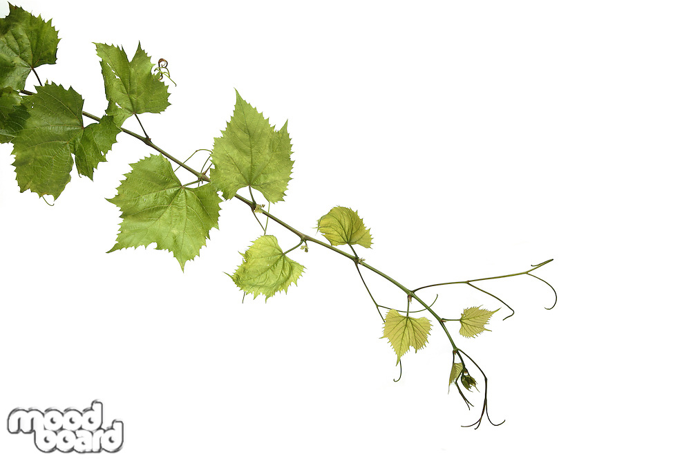 Grapes leafs on white background