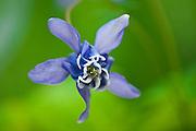 Blue columbine (Aquilegia sp.) <br /> Winnipeg<br /> Manitoba<br /> Canada