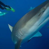 Galapagos Shark, Carcharhinus galapagensis, off Waikiki, Hawaii.