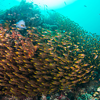 School of Golden Sweepers, Parapriacanthus ransonneti, Komodo Island, Indonesia.