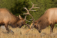 "Desperate to impress the ladies, two bull elk spar during the annual rut. Although these bulls are too small to have harems of their own, their ""play"" battles help prepare them for what they will face when they fully mature."