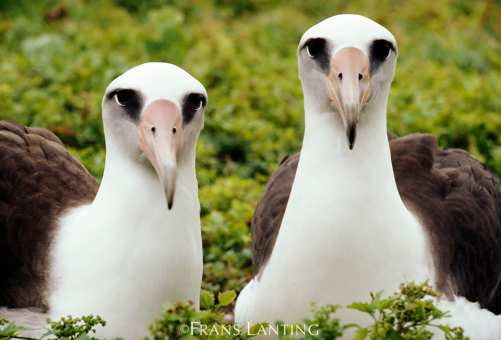 Laysan albatross pair, Phoebastria immutabilis, Hawaiian Leeward Islands