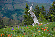Oregon, Wallowa Mountains, Hells Canyon overlook.  Remnants of a dead tree on a hillside covered in wildflowers high above Hells Canyon. . PLEASE CONTACT US FOR DIGITAL DOWNLOAD AND PRICING.