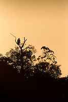 A WhiteBellied sea eagle (Haliaeetus leucogaster) silhouetted in the early morning in the Aurukun Wetlands on the west coast of remote Cape York in the far north of Queensland, Australia.