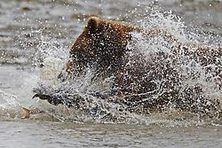 North American brown bear /  coastal grizzly bear (Ursus arctos horribilis) fishing in a creek, Lake Clark National Park, Alaska, United States of America