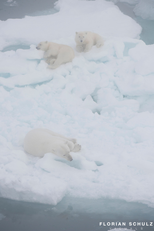 Europe's largest ice field, the Austfonna ice cap, provides a maze of ice floes where a mother polar bear and her cubs can rest. Svalbard, Norway