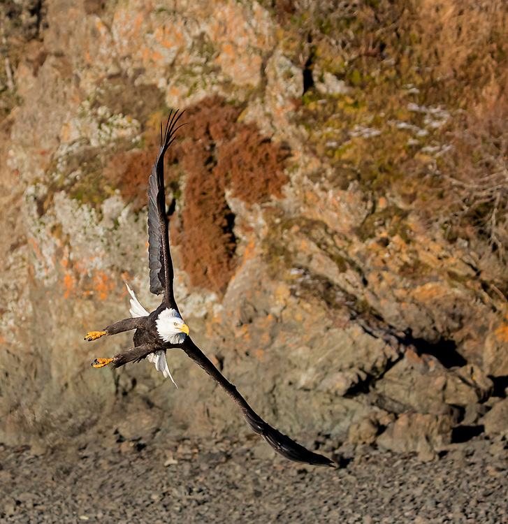 Alaska. Bald Eagle (Haliaeetus leucocephalus) doing a tight turn in flight in front of a sea cliff, Kachemak Bay.