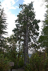 The world's largest Spruce Tree, a Sitka Spruce (Picea sitchensis) a large coniferous evergreen tree, 191 feet tall, 58 feet 11 inches circumference, approximately 1000 years old Lake Quinault, near Olympic National Park, Washington, United States of America