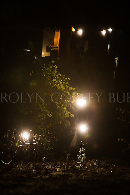 night grape harvest in howell mountain vineyard. napa valley.