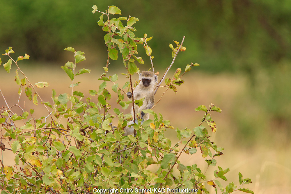 Juvenile vervet monkey in a tree.