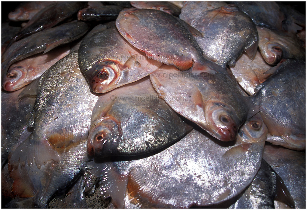 copyright: Nigel Hillier.Brazil,Para,Belem.. Ver-O-Peso market.close up of pile of fish