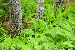 Ferns and trees, in Maine's Acadia National Park.
