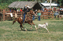 Rodeo in Cuba; with calf being chased by man on horseback with a lasso,