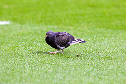 A pigeon walks around the pitch at the Aesseal New York Stadium, home to Rotherham United - Mandatory by-line: Ryan Crockett/JMP - 16/11/2019 - FOOTBALL - Aesseal New York Stadium - Rotherham, England - Rotherham United v Accrington Stanley - Sky Bet League One