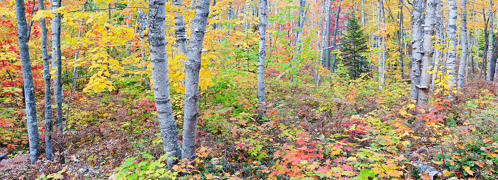 Birch forest, Pictured Rocks National Lakeshore, Lake Superior, Alger County, Michigan