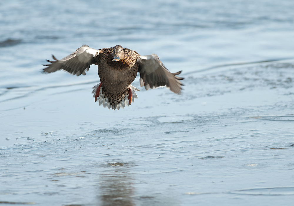 A hen mallard prepares to land on an ice shelf along a river bank.