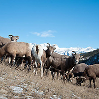 band of bighorn sheep feed on hillside rocky mountains background, winter wild rocky mountain big horn sheep