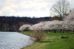 April 4, 2017 - Philadelphia, Pennsylvania, United States - Cherry Blossoms on the Schuylkill River Banks are in full bloom as people enjoy the early spring weather, in the Fairmount Park section of Philadelphia, PA, on April 4, 2017. (Credit Image: © Bastiaan Slabbers/NurPhoto via ZUMA Press)