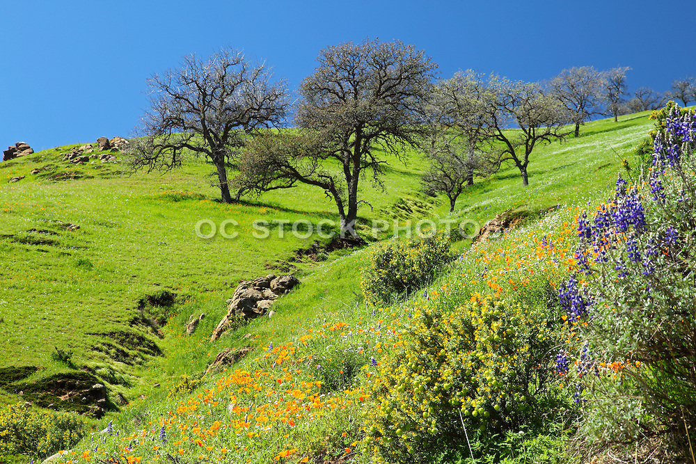 Spring Bloom and Green Grass Rolling Hills of Central Valley California
