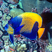 Blue Girdled Angelfish inhabit reefs. Picture taken Raja Ampat, Indonesia