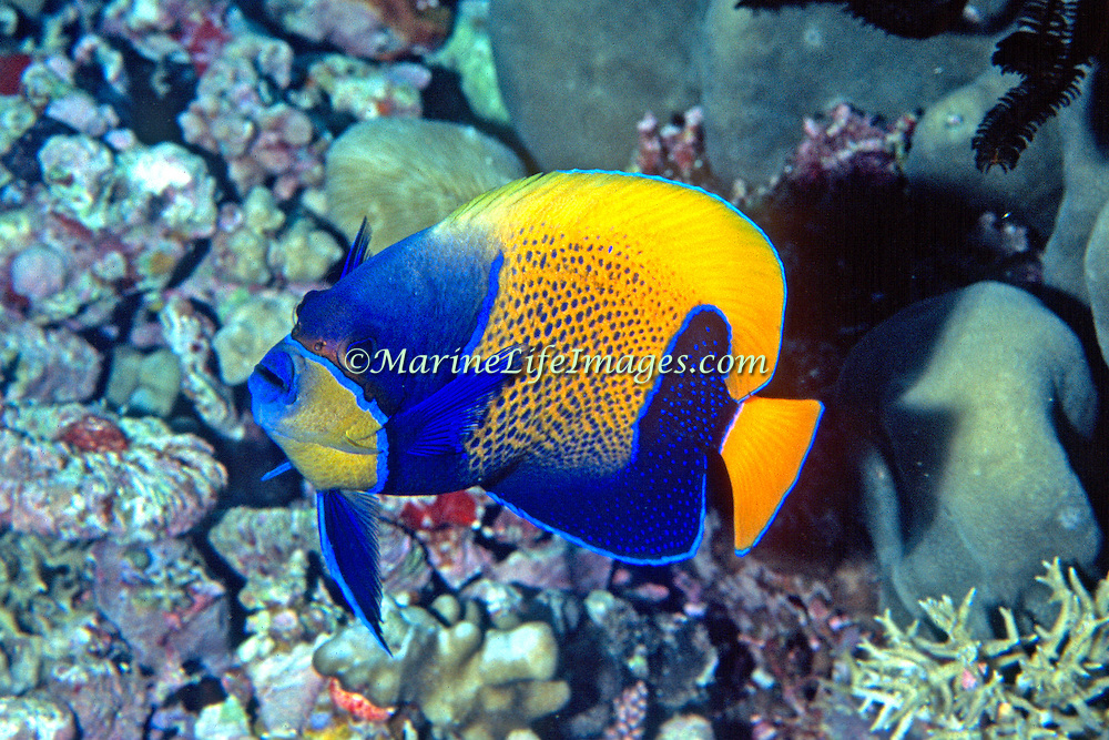 Blue Girdled Angelfish inhabit reefs. Picture taken Raja Ampat, Indonesia