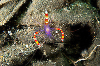 Blue Boxer Shrimp<br /> <br /> shot in Indonesia