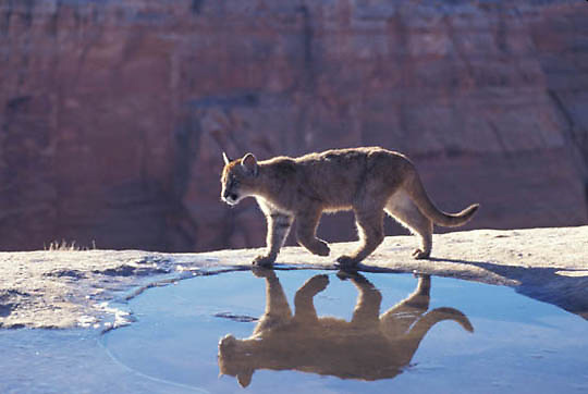 Mountain Lion or Cougar, (Felis concolor) Cub in canyon lands of Utah playing around pool of water. Captive Animal.