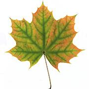 Autumn Evolution
