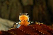 Alpine Newt (Triturus alpestris) female, Kiel, Germany | Beim Bergmolch (Triturus alpestris) weisen beide Geschlechter die einfarbige, leuchtend orange Körperunterseite auf. Dieses Weibchen ruht am Grunde seines Laichgewässers.