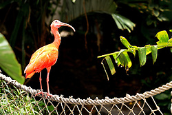 06 July 2008: Scarlet Ibis (Photo by Alan Look)