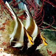 Pennant Bannerfish inhabit reefs. Pictue taken Fiji.