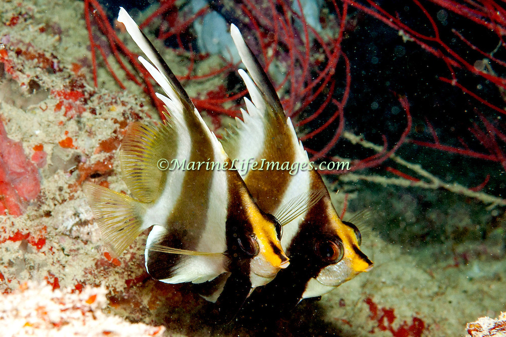 Pennant Bannerfish inhabit reefs. Pictue taken Fiji.