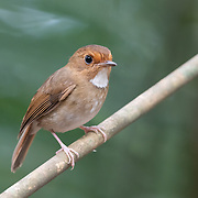 The white-gorgeted flycatcher (Anthipes monileger) is a species of passerine bird in the Old World flycatcher family.