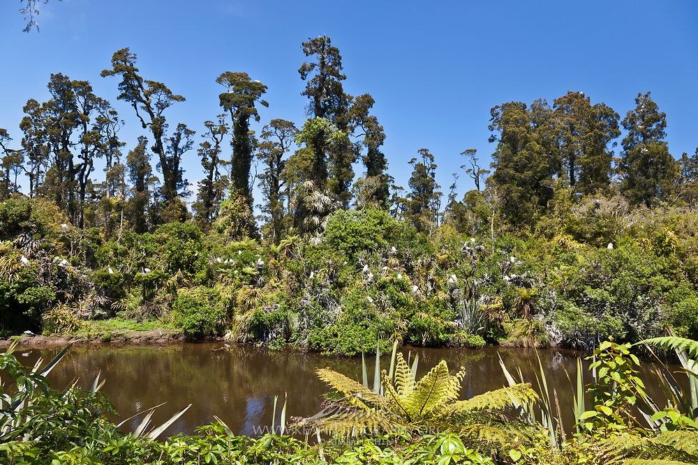 White Heron breeding colony amongst kahikatea trees, New Zealand