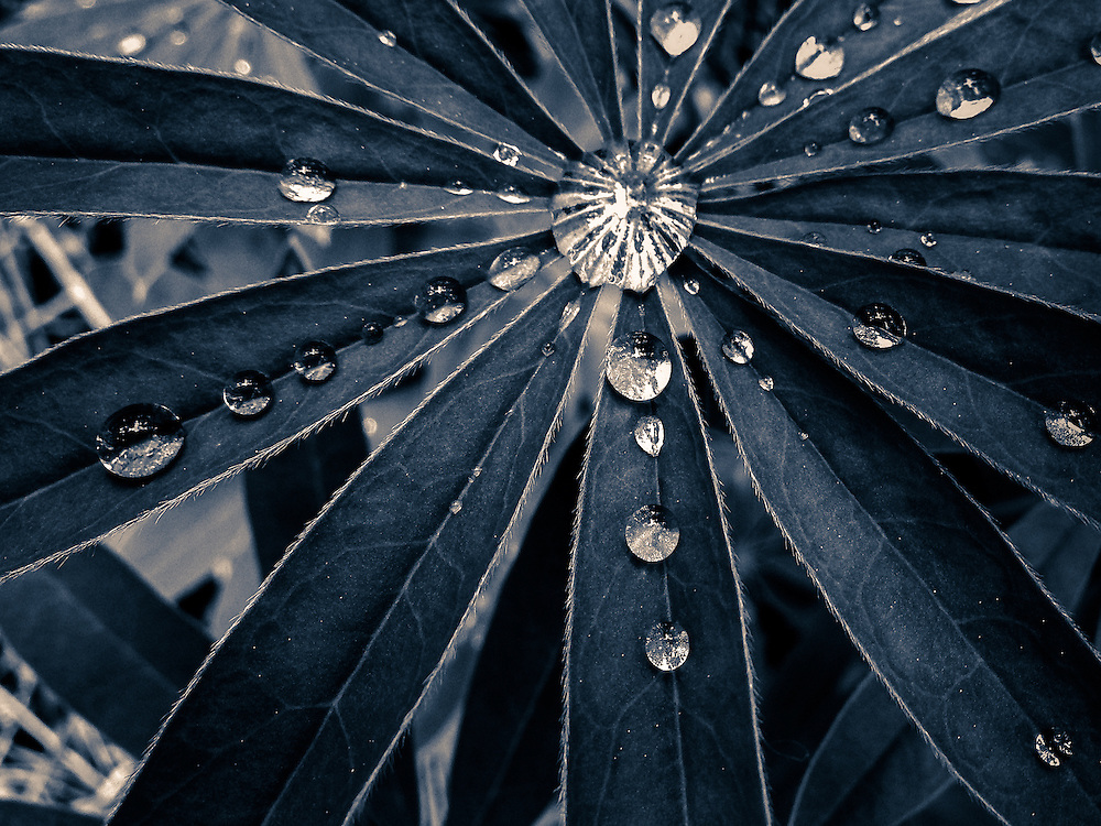 Rain drops on lupine leaves