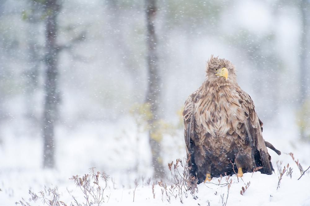 Adult sea eagle amongst bog pines, Estonia