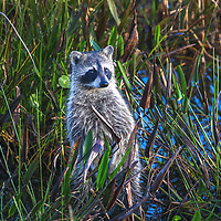 Southeast Florida nature photography from outdoor photographer Juergen Roth showing a baby raccoon at Wakodahatchee Wetlands located west of Boynton Beach in Palm Beach County, FL.  <br />