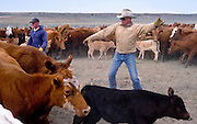 19 MAY 2002 - INGOMAR, MONTANA, USA: Reg Hoff sorts cattle on his ranch near Ingomar, MT, during the branding of the spring calves, May 19, 2002. Ranches across Montana and the American west start branding their spring crop of calves in April and continue through May. This year's crop of calves is lower than in years past because of the drought gripping much of the west. Many ranches have moved to branding tables and chutes but the Hoff ranch still brands the traditional way by roping individual calves out of the herd. .PHOTO BY JACK KURTZ