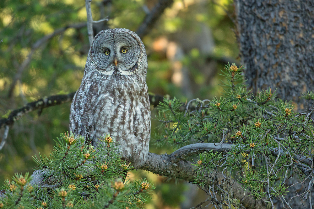 "The great grey owl is one of the world's largest owls. Like most owls, the great grey is active at night, but prefers hunting in the early morning or late afternoon. Gliding through the forest on silent wingbeats, one can understand why this owl is often called the ""Phantom of the North""."