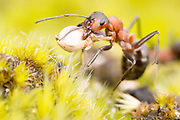 Wood ant (Formica rufa) carrying heather seed. Dorset, UK. Worker ants return from foraging with food items and building materials for nest repairs.