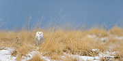 A snowy owl sits in the Mission Valley grasslands; listening and looking for nearby voles to pounce upon.