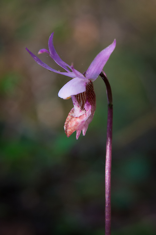 One of the most distinctive and favorite of the wild orchids of the Pacific Northwest is the western fairy-slipper. Also known as the calypso orchid, is primarily found in Northwestern California, Oregon, Washington, British Columbia, Alaska, Idaho and Montana in forests with rich, organic soils. One of the first of the springtime orchids to flower, when you find one, there are usually many, many more in the vicinity even though they can be hard to spot. Once you train your eye to the color and the diminutive size, they can suddenly appear in the hundreds. This one was one of many hundreds found growing on Fidalgo Island among the douglas firs within view of Rosario Strait.
