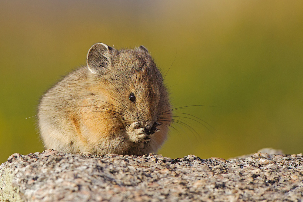 Stock photo of American Pika captured in Colorado.  During the summer, they will forage green plants and dry them in the sun.  This will hold them over the winter.
