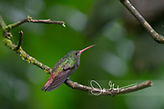 A Rufous-tailed hummingbird perches on a branch in the Mindo cloud forest.