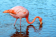 Flamingo (Phoenicopterus ruber) in a lagoon on Isabela Island, Galapagos Islands, Ecuador.