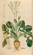 16th century, watercolor, hand painted woodcutting print of a Rapum Sativum plant from Leonhart Fuchs book of herbs: De Historia Stirpium Commentarii Insignes Published in Basel in 1542 The original manuscript this image is taken from shows signs of water damage