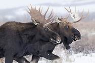 Bitter rivals just a month ago, bull moose often congregate together during the winter months.  This pair was part of a herd of eight observed traveling through the sage-covered snow.